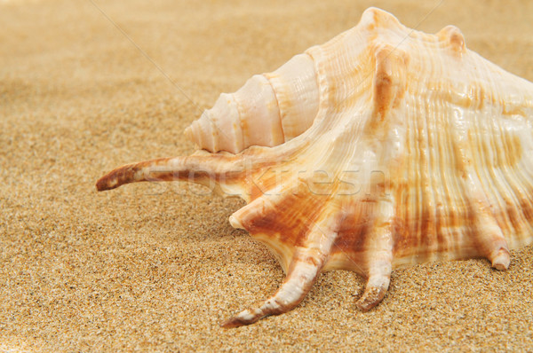 giant spider conch shell on the sand Stock photo © nito