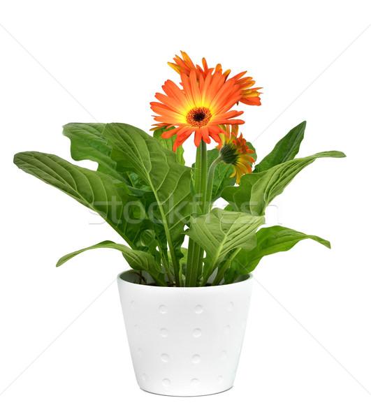 orange gerbera daisy plant Stock photo © nito
