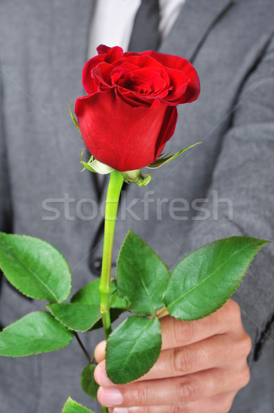 a rose for you Stock photo © nito