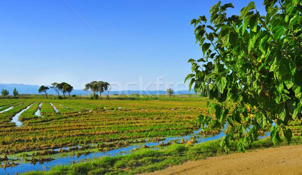 paddy field Stock photo © nito