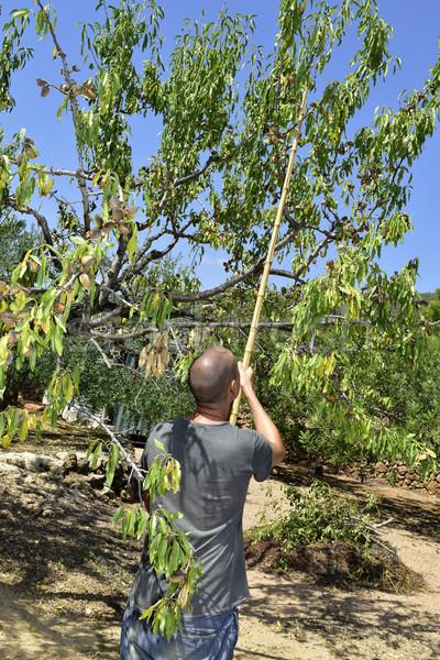 Giovane raccolta mandorla albero primo piano Foto d'archivio © nito