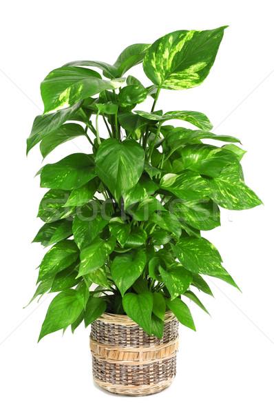 Növény fehér természet háttér szőlő mászik Stock fotó © nito