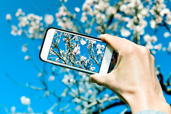 taking a picture of an almond tree in full bloom Stock photo © nito