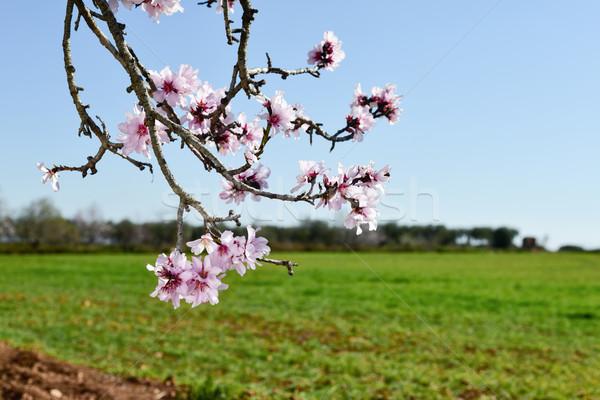Amandel boom vol bloeien tak Stockfoto © nito