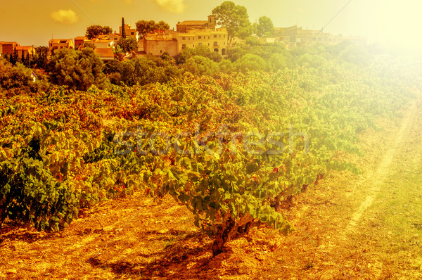 a vineyard in a mediterranean country lit by the evening light Stock photo © nito