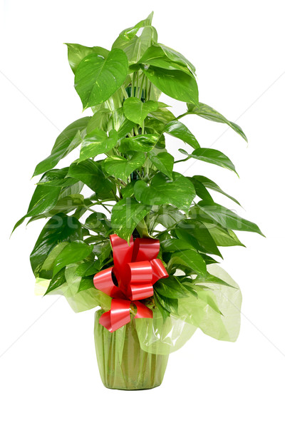 gift-wrapped Epipremnum aureum plant Stock photo © nito