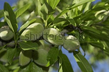 ág mandula fa zöld mandulák közelkép Stock fotó © nito