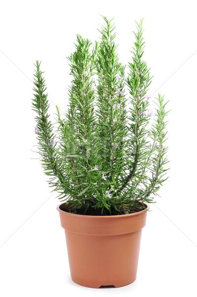 rosemary plant Stock photo © nito