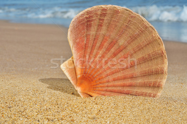 seashell on the seashore Stock photo © nito