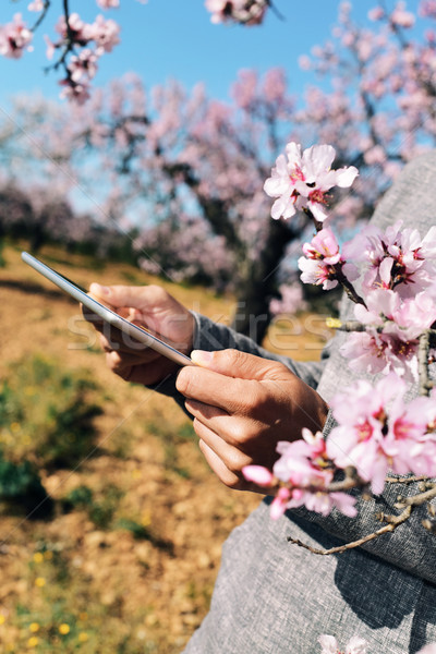 man using a tablet in a grove of almond trees in full bloom Stock photo © nito