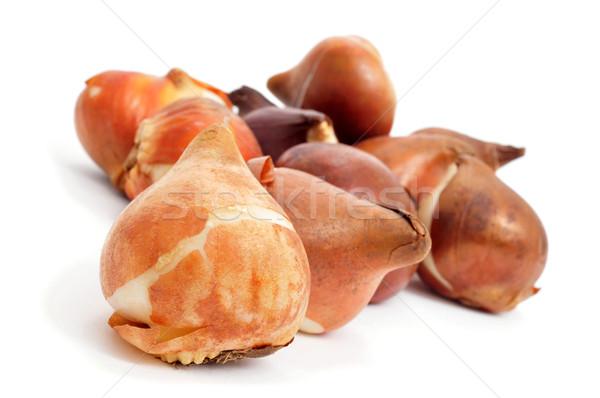 tulip bulbs Stock photo © nito
