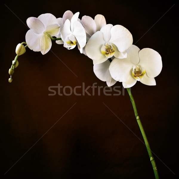 Phalaenopsis aphrodite orchid Stock photo © nito