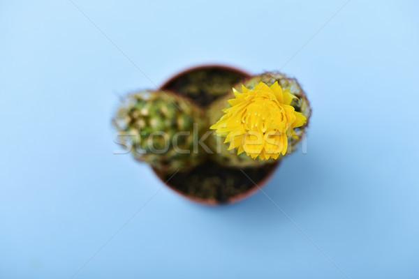 Kaktusz sárga virág magasról fotózva kilátás arany csipke Stock fotó © nito