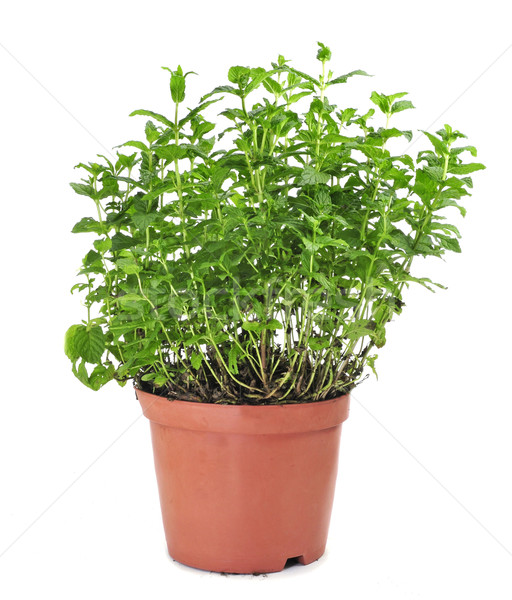 Menthe usine pot à fleurs blanche alimentaire fond Photo stock © nito