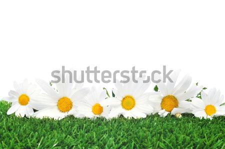 daisies on the grass Stock photo © nito