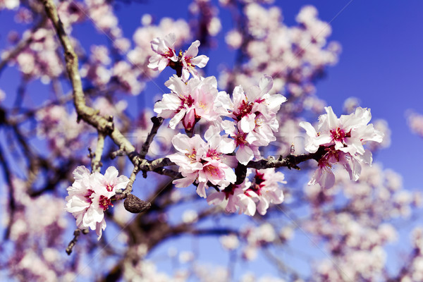 almond tree in full bloom Stock photo © nito