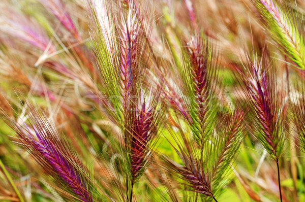 barley spikes Stock photo © nito