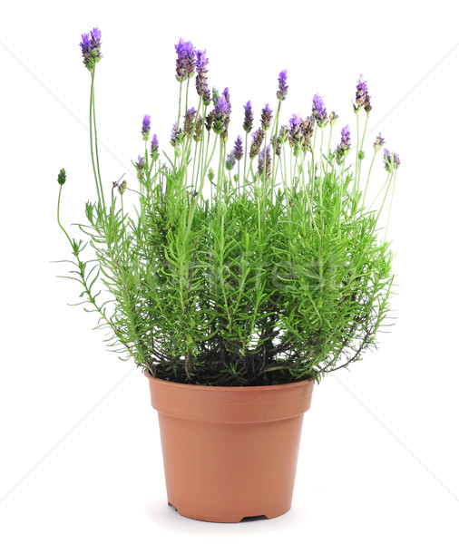 lavender plant Stock photo © nito