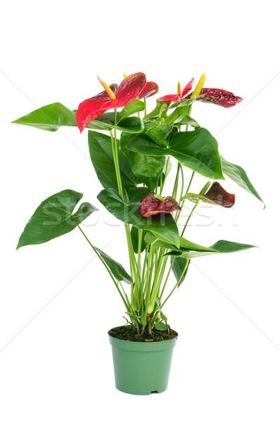 flamingo lily plant Stock photo © nito