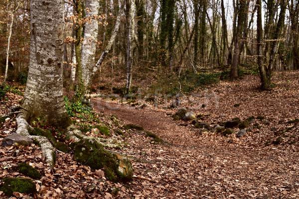 La Fageda den Jorda forest, in Spain Stock photo © nito