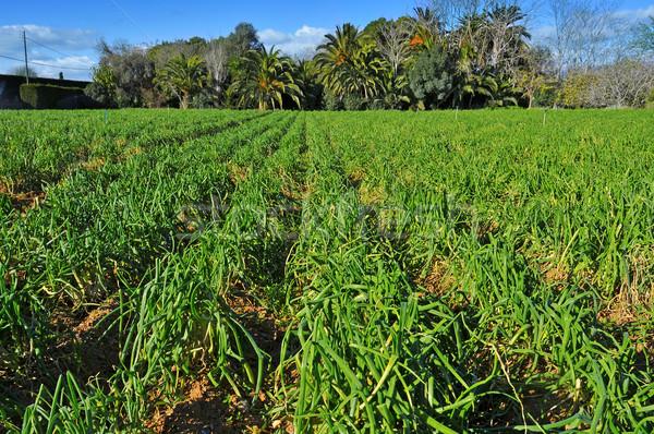 plantation of calcots, catalan sweet onions Stock photo © nito