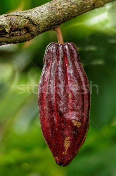 Vaina árbol alimentos naturaleza frutas jardín Foto stock © njaj
