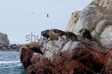 sea lion on ballestas islands Stock photo © njaj