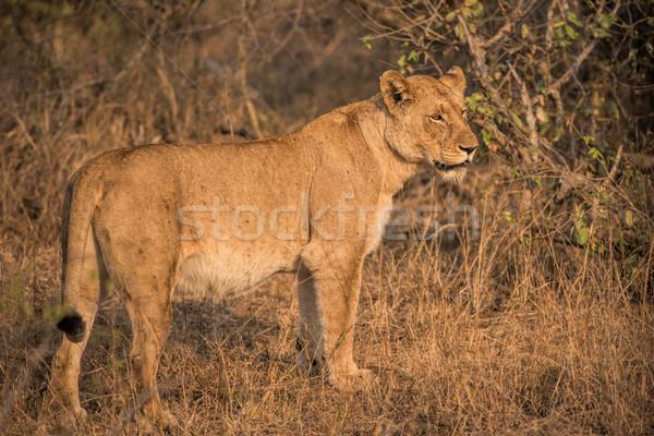 lion in south africa Stock photo © njaj