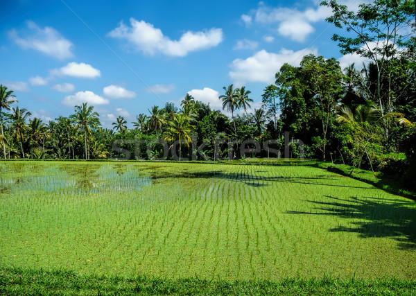Riso campi bali campo verde farm Foto d'archivio © njaj