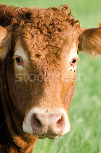the red cow Stock photo © njaj