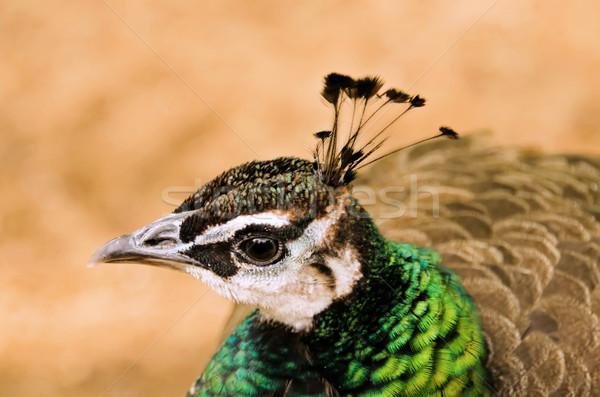 Tête paon texture oeil nature design Photo stock © njaj