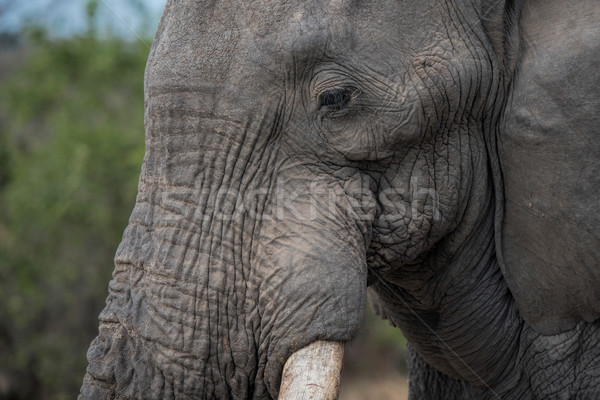 South Africa natuur olifant dier safari elegante Stockfoto © njaj