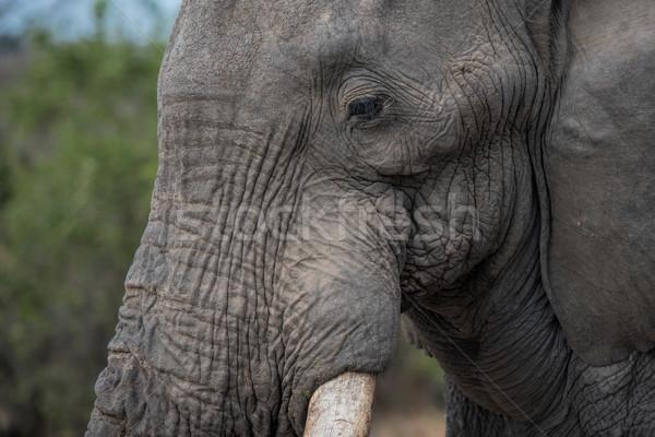 Afrique du Sud nature éléphant animaux Safari élégante Photo stock © njaj