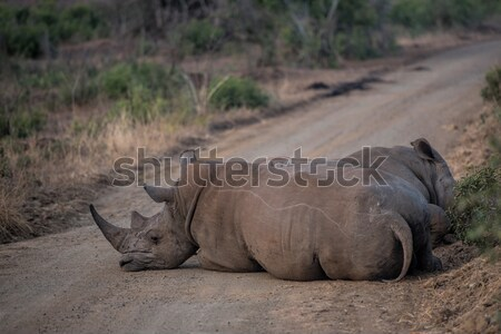 white rhino Stock photo © njaj