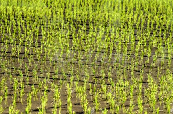 Arroz campos bali campo verde fazenda Foto stock © njaj