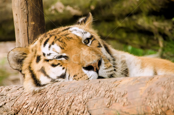 the tiger Stock photo © njaj
