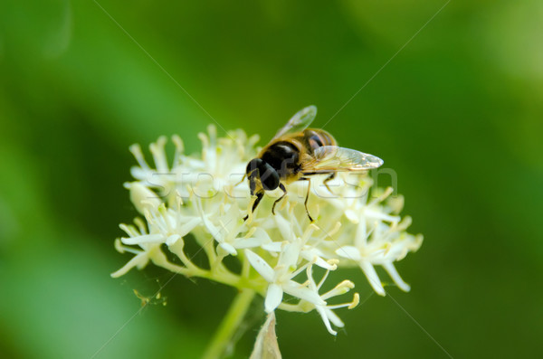 Gyűlés nektár virág növény légy állat Stock fotó © njaj