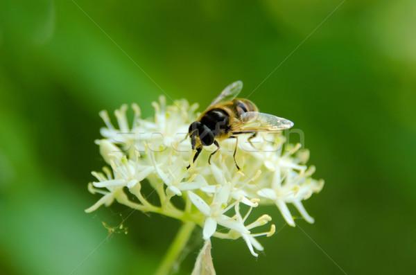 the  syrphid gathering nectar Stock photo © njaj