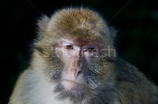 Barbary macaques Stock photo © njaj