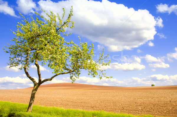 apple tree and fields Stock photo © njaj
