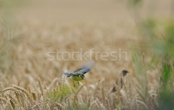 Tit tarwe natuur veld landbouw vleugel Stockfoto © njaj