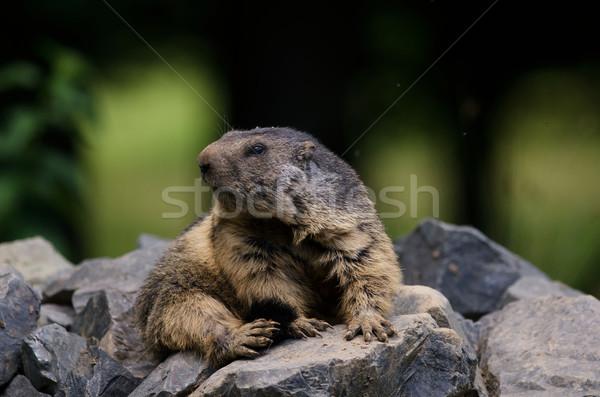 groundhog Stock photo © njaj