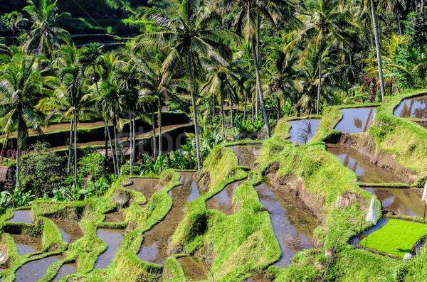 риса полях Бали области зеленый фермы Сток-фото © njaj