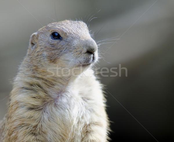 Prairie hond natuur dieren dier permanente Stockfoto © njaj