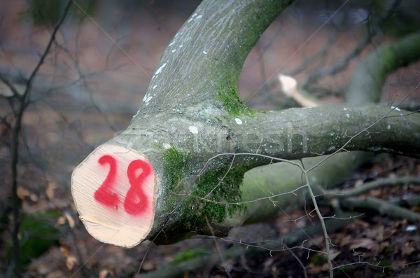 marking tree trunk Stock photo © njaj