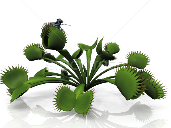 Stock photo: Venus flytrap and  fly on a white background