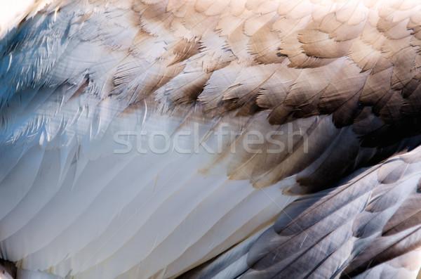 Tollak hattyú madár toll úszik fehér Stock fotó © njaj