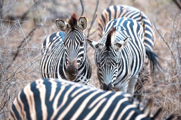 Zebra South Africa natuur dieren park witte Stockfoto © njaj