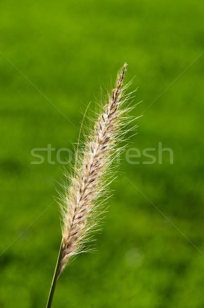 лезвия трава саду красоту зеленый листьев Сток-фото © njaj