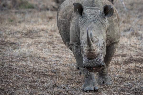 white rhino Stock photo © njaj